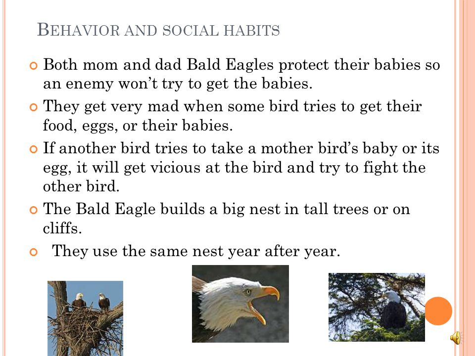 T HE B ALD E AGLE ' S H ABITAT They live in the Great Lakes. They like the Great Lakes because it is very cold. They live in Alaska, Baja, California,