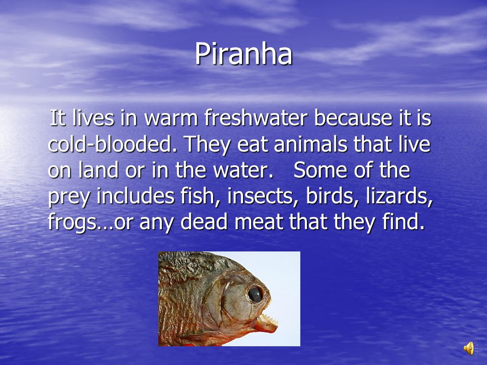 Piranha Piranhas have a bulldog-like face with a very large lower jaw and many razor-sharp teeth. The piranha might loose teeth when he bites his prey