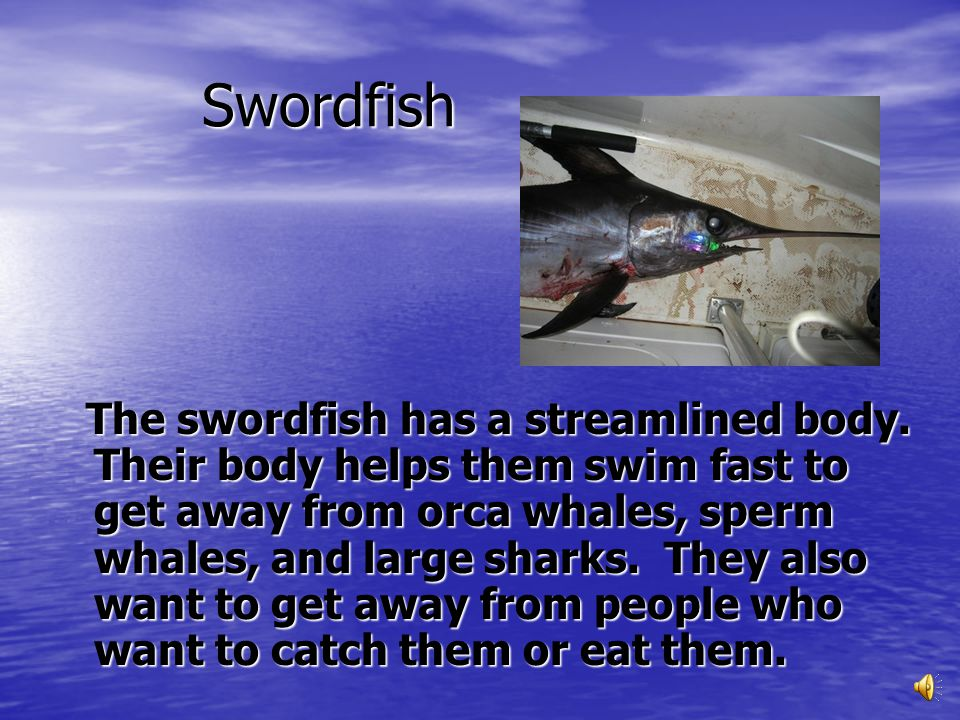 Swordfish are very powerful fighters. If they are hooked or harpooned, they will fight hard to get loose. They dive down to get away. The swordfish do