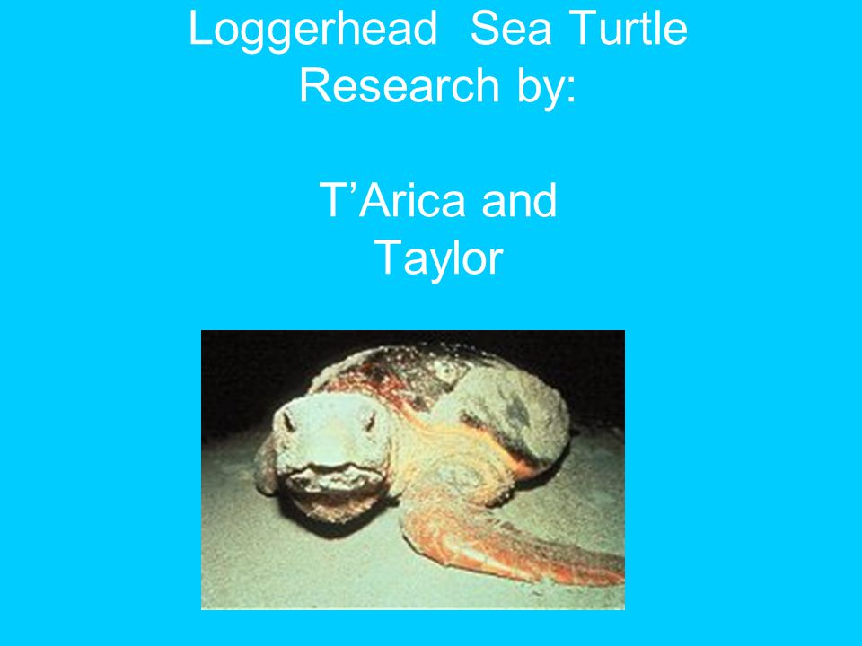 Loggerhead Sea Turtle Research by: T'Arica and Taylor