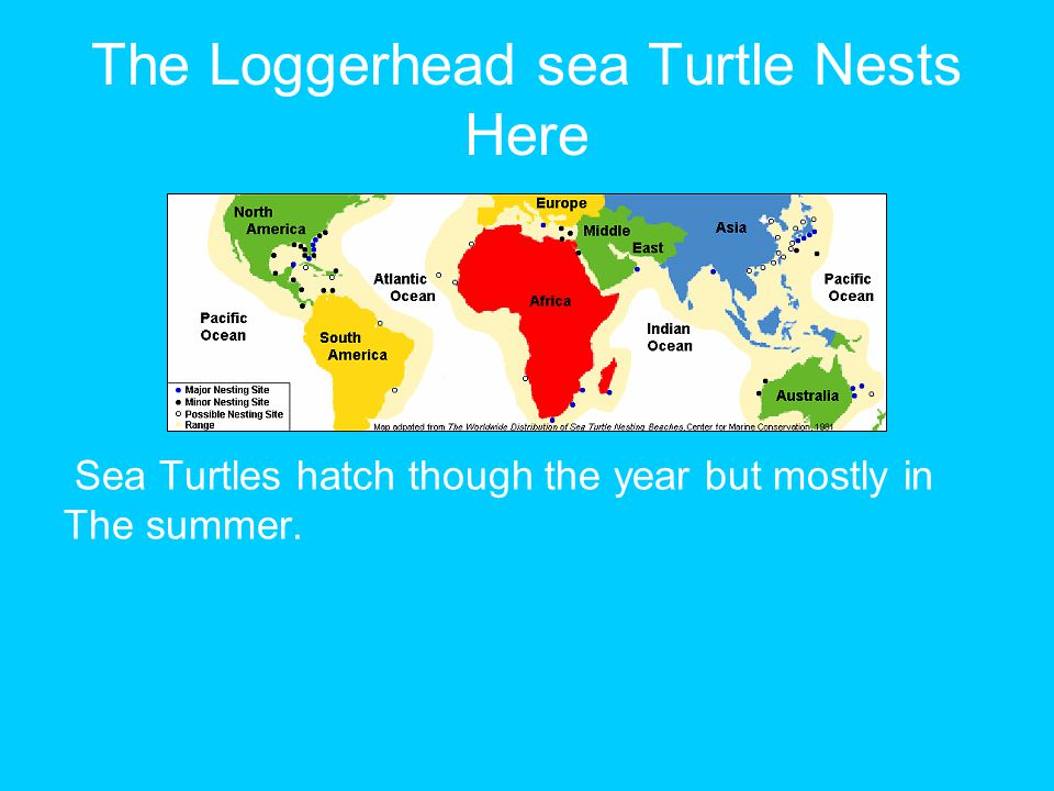 The Loggerhead sea Turtle Nests Here Sea Turtles hatch though the year but mostly in The summer.