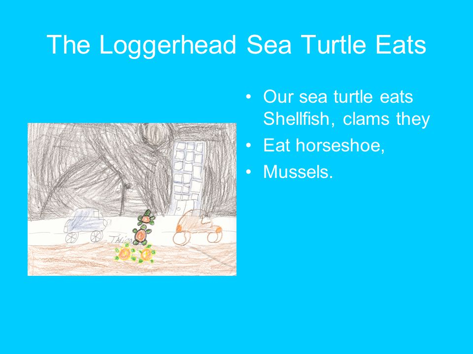 The Loggerhead Sea Turtle Eats Our sea turtle eats Shellfish, clams they Eat horseshoe, Mussels.