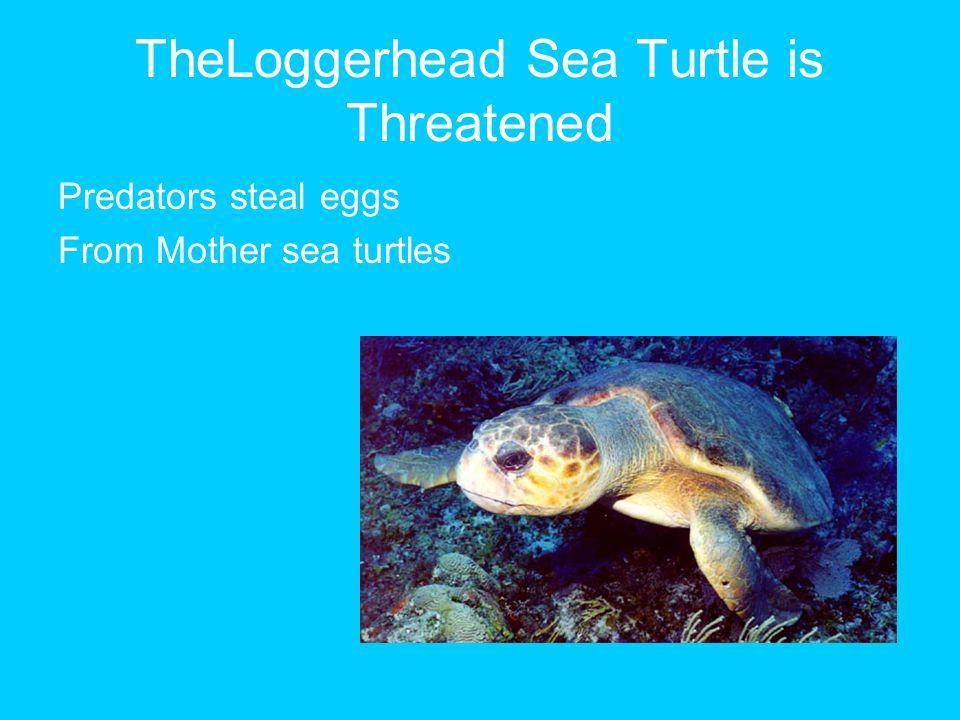 TheLoggerhead Sea Turtle is Threatened Predators steal eggs From Mother sea turtles