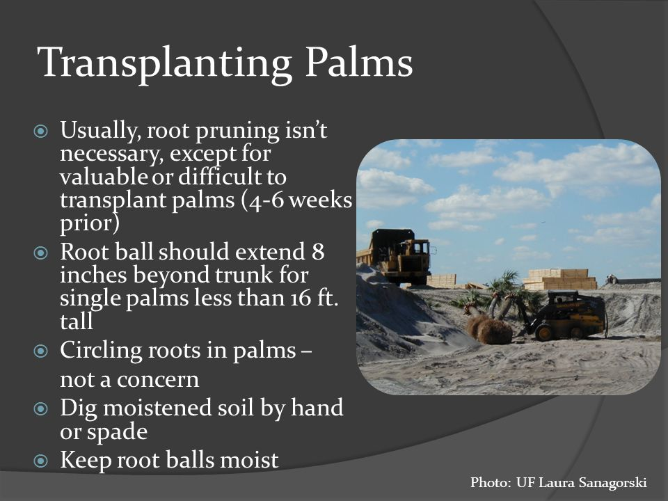 Usually, root pruning isn't necessary, except for valuable or difficult to transplant palms (4-6 weeks prior)  Root ball should extend 8 inches beyond trunk for single palms less than 16 ft.