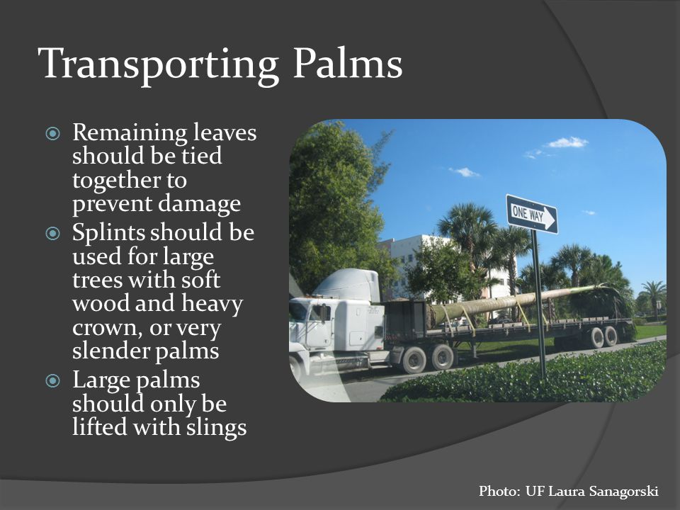 Transporting Palms  Remaining leaves should be tied together to prevent damage  Splints should be used for large trees with soft wood and heavy crown, or very slender palms  Large palms should only be lifted with slings Photo: UF Laura Sanagorski