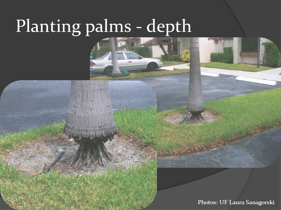 Planting palms - depth Photos: UF Laura Sanagorski