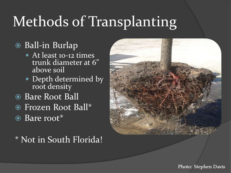 Methods of Transplanting  Ball-in Burlap At least 10-12 times trunk diameter at 6 above soil Depth determined by root density  Bare Root Ball  Frozen Root Ball*  Bare root* * Not in South Florida.