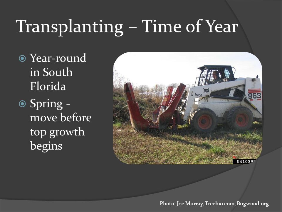 Transplanting – Time of Year  Year-round in South Florida  Spring - move before top growth begins Photo: Joe Murray, Treebio.com, Bugwood.org