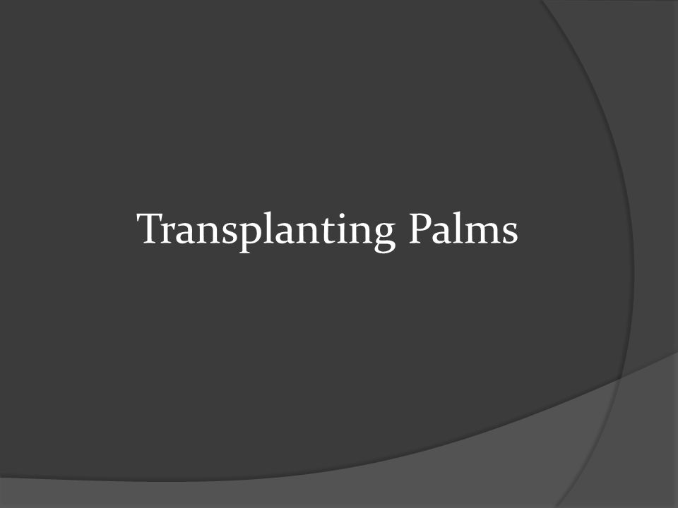  Usually, root pruning isn't necessary, except for valuable or difficult to transplant palms (4-6 weeks prior)  Root ball should extend 8 inches beyond trunk for single palms less than 16 ft.