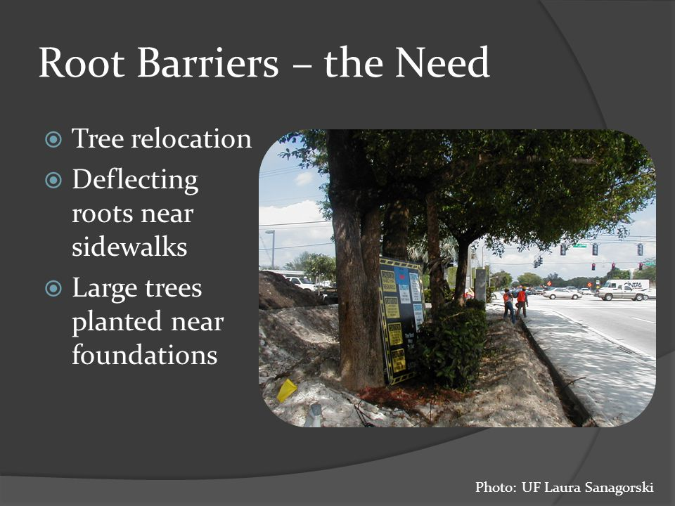 Root Barriers – the Need  Tree relocation  Deflecting roots near sidewalks  Large trees planted near foundations Photo: UF Laura Sanagorski
