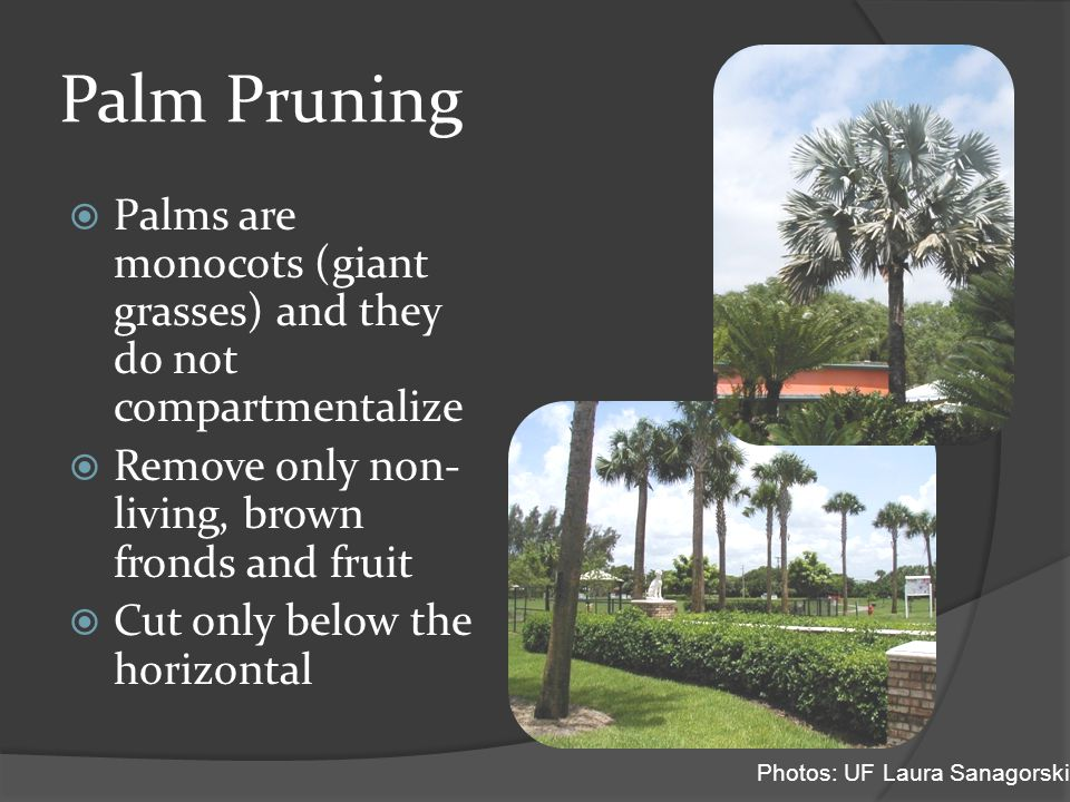 Palm Pruning  Palms are monocots (giant grasses) and they do not compartmentalize  Remove only non- living, brown fronds and fruit  Cut only below the horizontal Photos: UF Laura Sanagorski