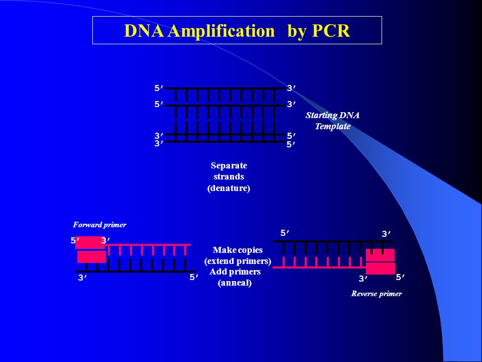 Make copies (extend primers) Starting DNA Template 5' 3' 5' 3' Add primers (anneal) 5' 3' 5' Forward primer Reverse primer DNA Amplification by PCR Se