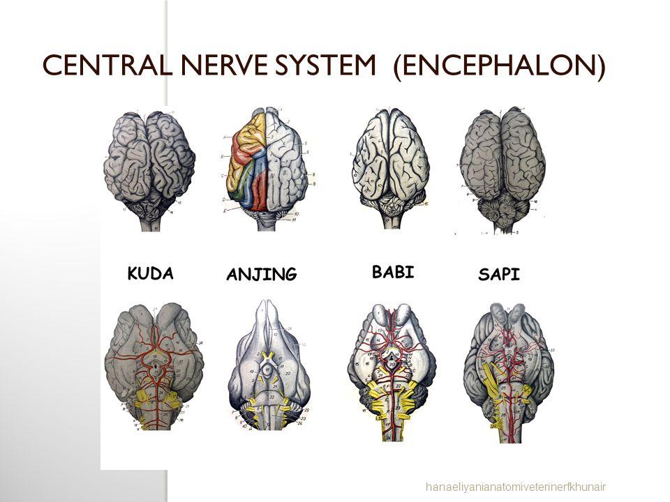 CENTRAL NERVE SYSTEM (ENCEPHALON) hanaeliyanianatomiveterinerfkhunair