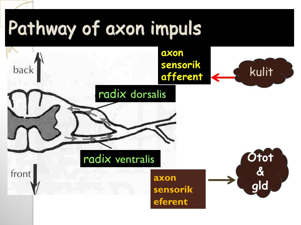 Pathway of axon impuls radix ventralis radix dorsalis axon sensorik afferent axon sensorik eferent kulit Otot & gld
