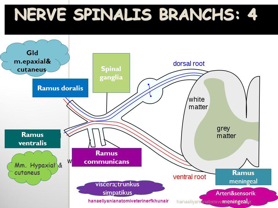 Ramus doralis Ramus ventralis Ramus communicans Spinal ganglia Ramus meningeal Gld m.epaxial& cutaneus. Mm. Hypaxial & cutaneus Arteri&sensorik mening