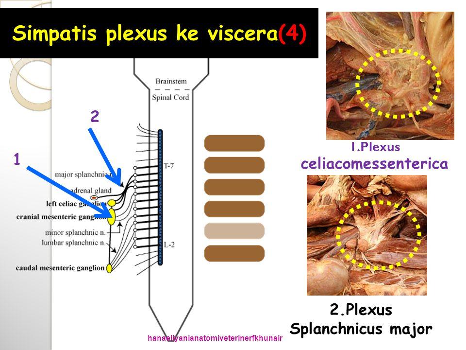 1.Plexus celiacomessenterica 2.Plexus Splanchnicus major Simpatis plexus ke viscera(4) 1 2 hanaeliyanianatomiveterinerfkhunair