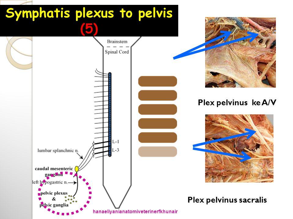 Plex pelvinus ke A/V Plex pelvinus sacralis Symphatis plexus to pelvis (5) hanaeliyanianatomiveterinerfkhunair