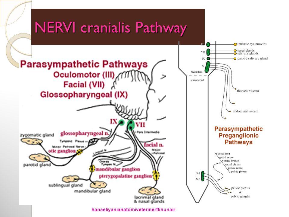NERVI cranialis Pathway hanaeliyanianatomiveterinerfkhunair