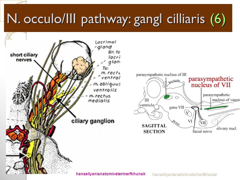 TRUNCUS PS NERVI. VII; GANGLION CILLLIARIS N. occulo/III pathway: gangl cilliaris (6) hanaeliyanianatomiveterinerfkhunair