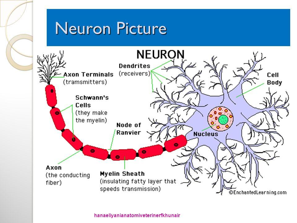 Neuron Picture Neuron Picture hanaeliyanianatomiveterinerfkhunair