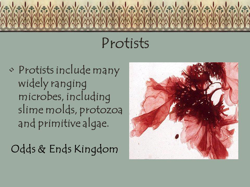 Protists Protists include many widely ranging microbes, including slime molds, protozoa and primitive algae. Odds & Ends Kingdom