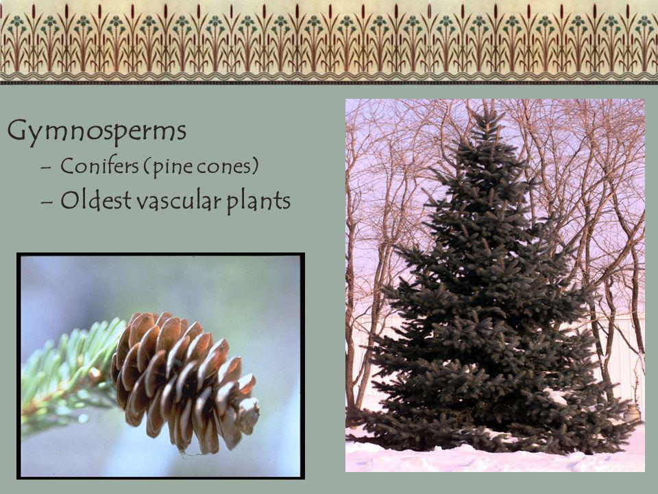 Gymnosperms –Conifers (pine cones) –Oldest vascular plants