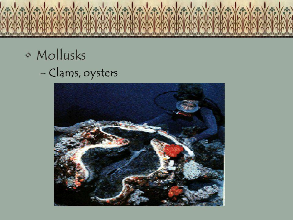 Mollusks –Clams, oysters
