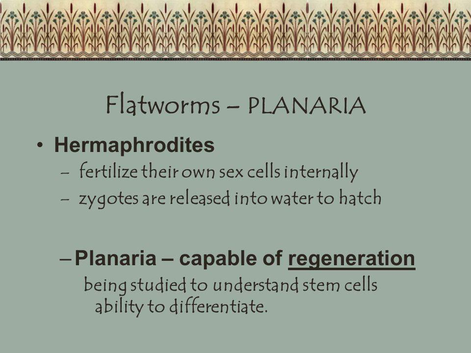 Flatworms – PLANARIA Hermaphrodites – fertilize their own sex cells internally – zygotes are released into water to hatch –Planaria – capable of regen