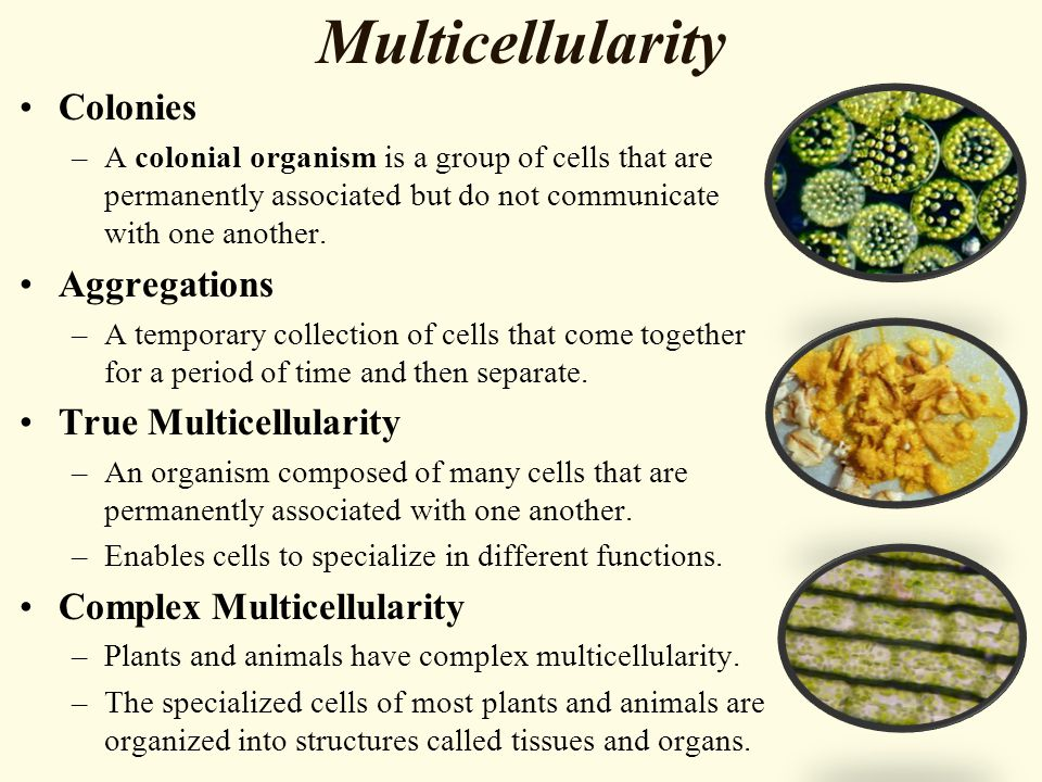 Multicellularity Colonies –A colonial organism is a group of cells that are permanently associated but do not communicate with one another. Aggregatio