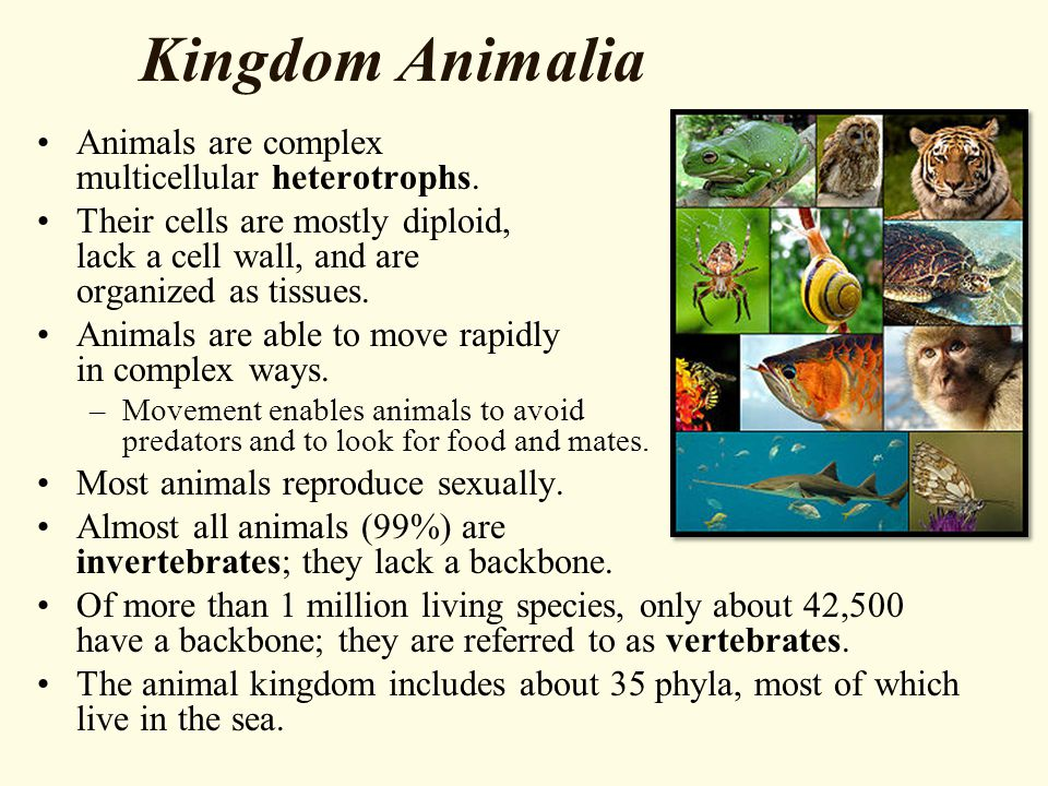 Kingdom Animalia Animals are complex multicellular heterotrophs. Their cells are mostly diploid, lack a cell wall, and are organized as tissues. Anima