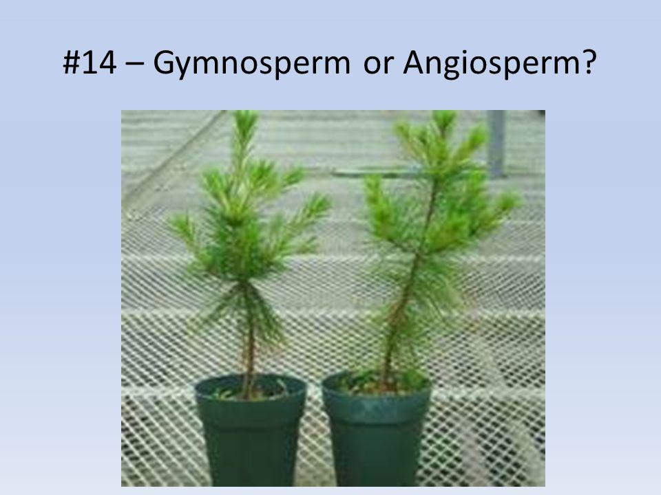 #14 – Gymnosperm or Angiosperm?