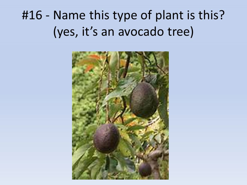 #16 - Name this type of plant is this? (yes, it's an avocado tree)