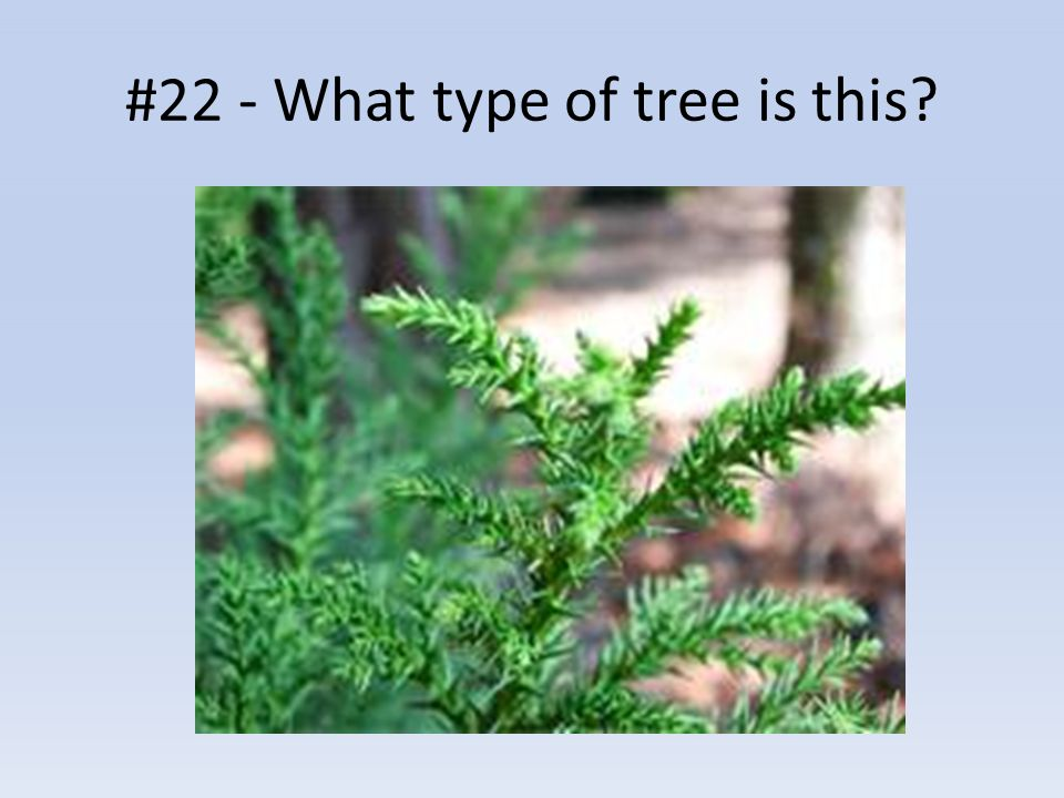#22 - What type of tree is this?