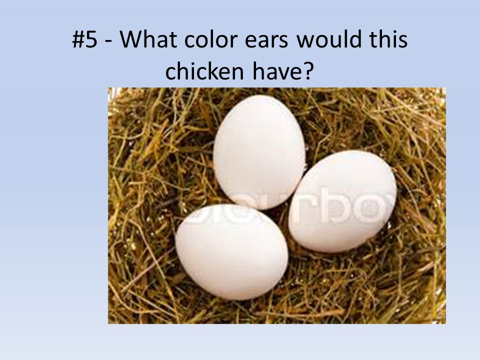 #5 - What color ears would this chicken have?