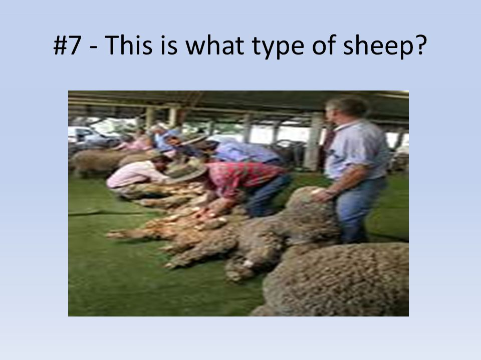 #7 - This is what type of sheep?