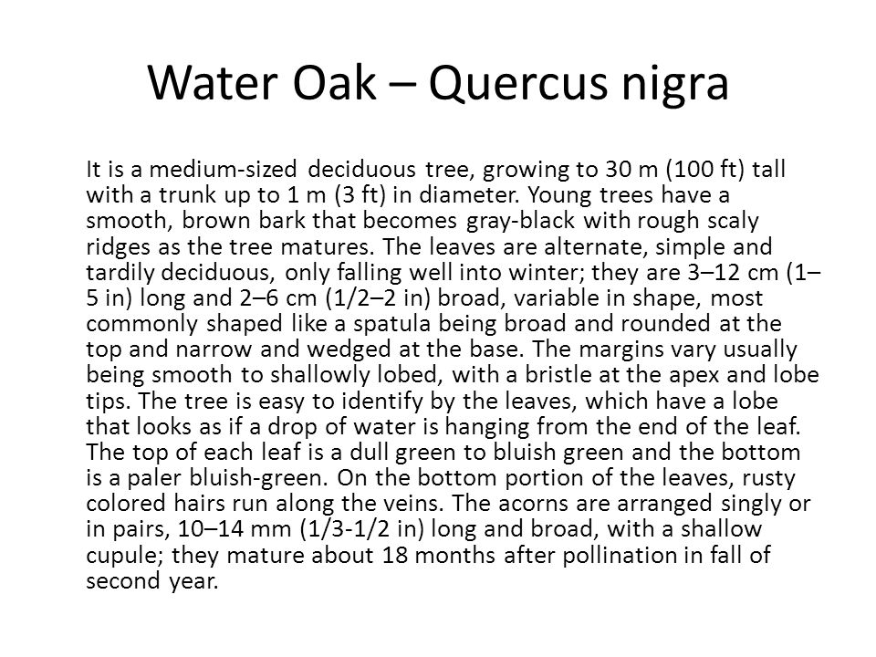 Water Oak – Quercus nigra It is a medium-sized deciduous tree, growing to 30 m (100 ft) tall with a trunk up to 1 m (3 ft) in diameter. Young trees ha