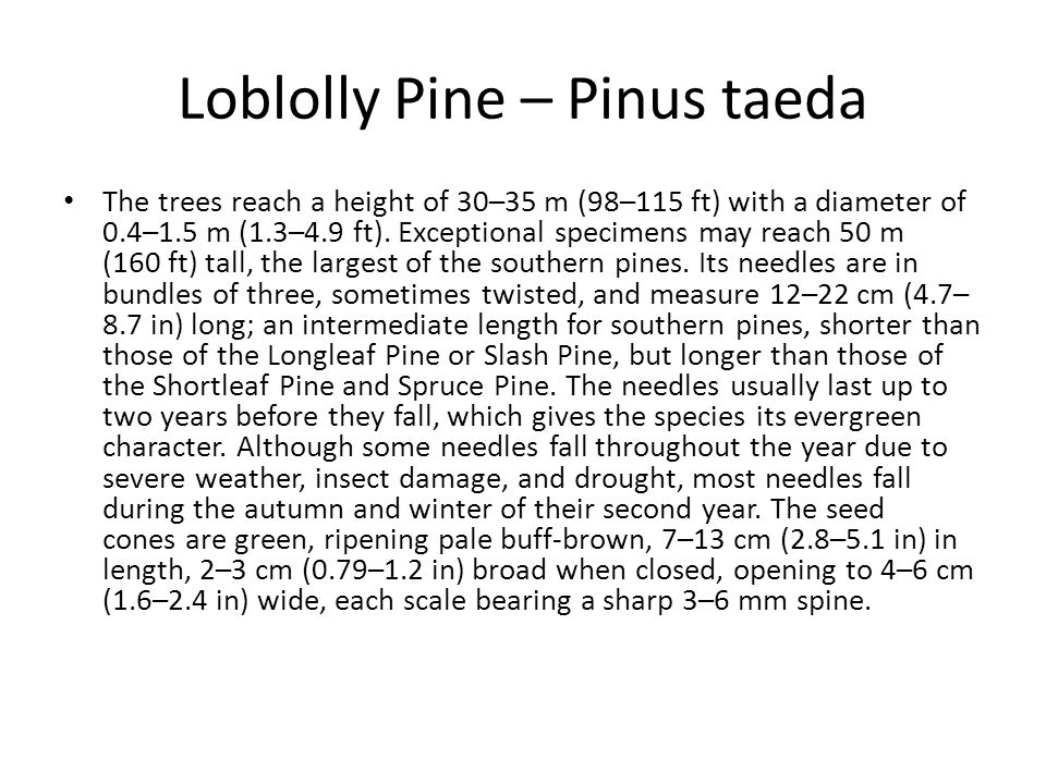 Loblolly Pine – Pinus taeda The trees reach a height of 30–35 m (98–115 ft) with a diameter of 0.4–1.5 m (1.3–4.9 ft). Exceptional specimens may reach
