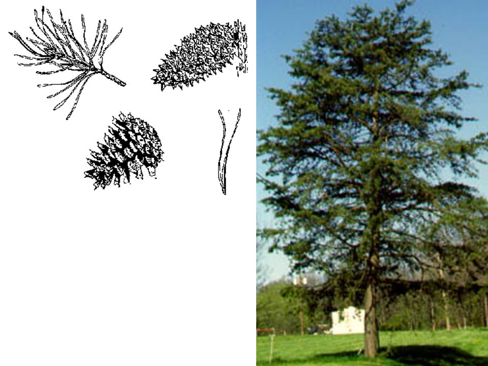 Virginia Pine – Pinus virginiana LEAVES: Evergreen needles in clusters of 2, twisted, stout, relatively short 1½ -3 long.
