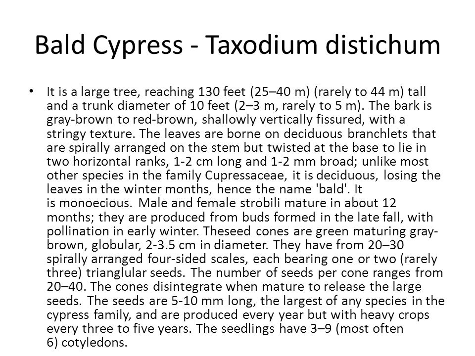 Bald Cypress - Taxodium distichum It is a large tree, reaching 130 feet (25–40 m) (rarely to 44 m) tall and a trunk diameter of 10 feet (2–3 m, rarely