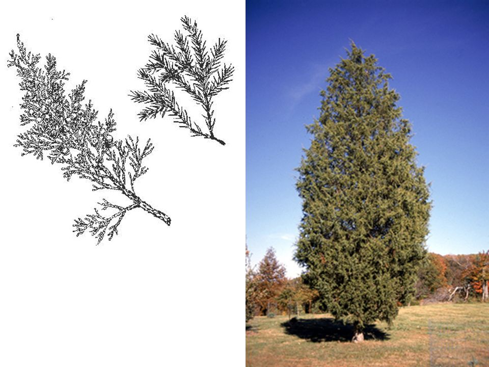 Eastern Red Cedar – Juniperus virginiana LEAVES: Evergreen, opposite, two types (often on the same tree) the older more common kinds are scale-like and only 1/16 -3/32 long, while the young sharp-pointed ones may be up to 3/4 in length; whitish lines on the upper surface.