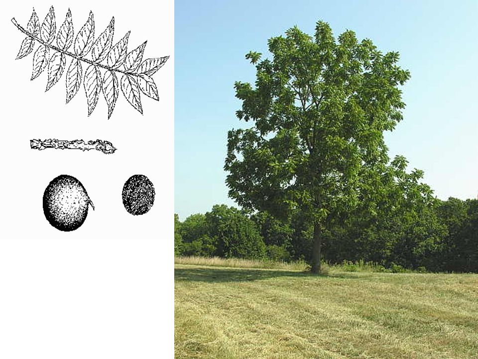 Black Walnut LEAVES: Compound, alternate; leaflets 15 to 23, each 3 -4 long, small-toothed; dark yellow-green above, paler, hairy below.