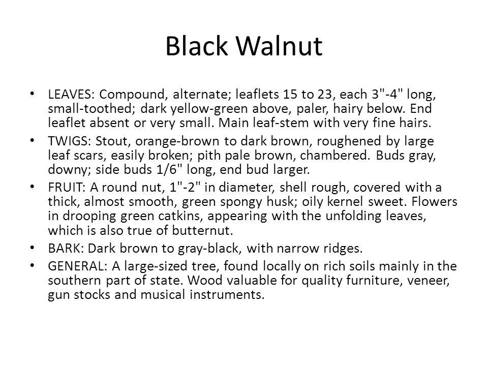 Black Walnut LEAVES: Compound, alternate; leaflets 15 to 23, each 3