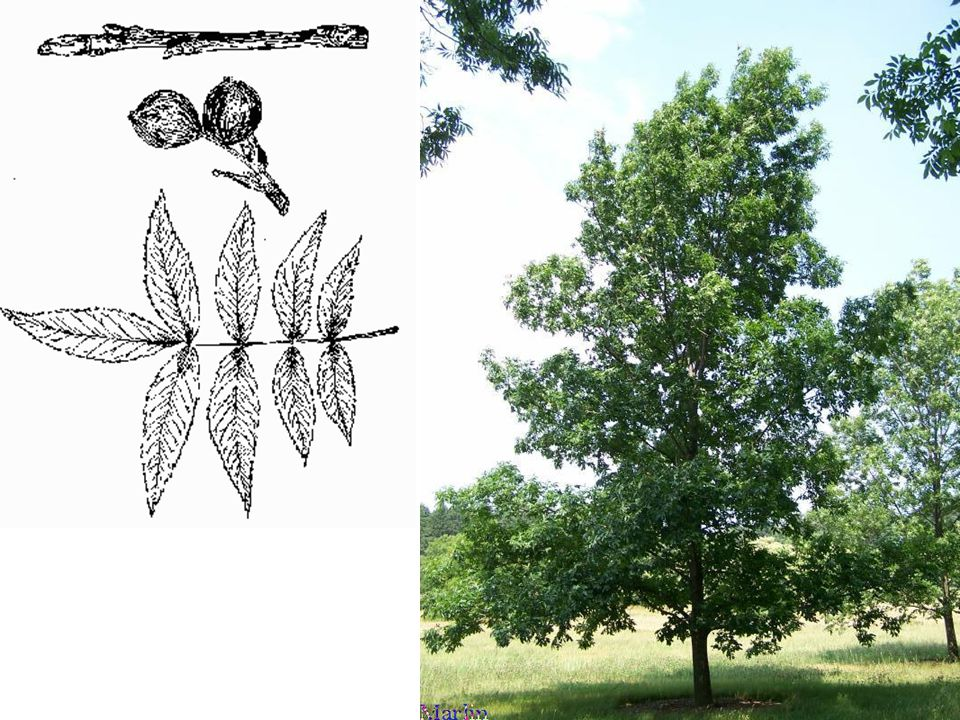 Pignut Hickory – Carya glabra LEAVES: Alternate, compound, 8 -12 long usually divided into 5 toothed, lance-shaped leaflets.