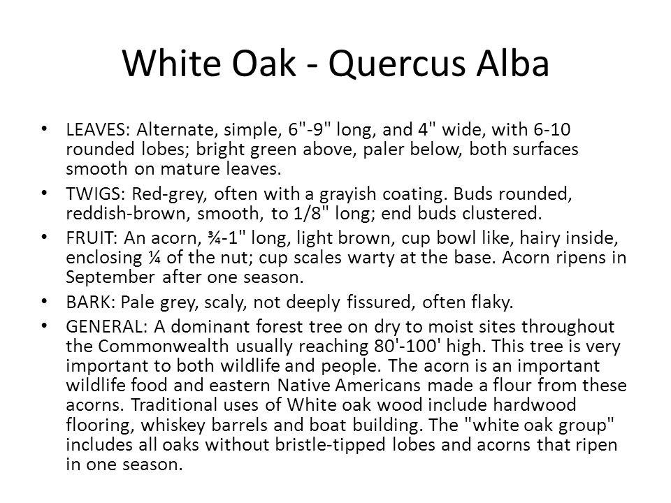 White Oak - Quercus Alba LEAVES: Alternate, simple, 6