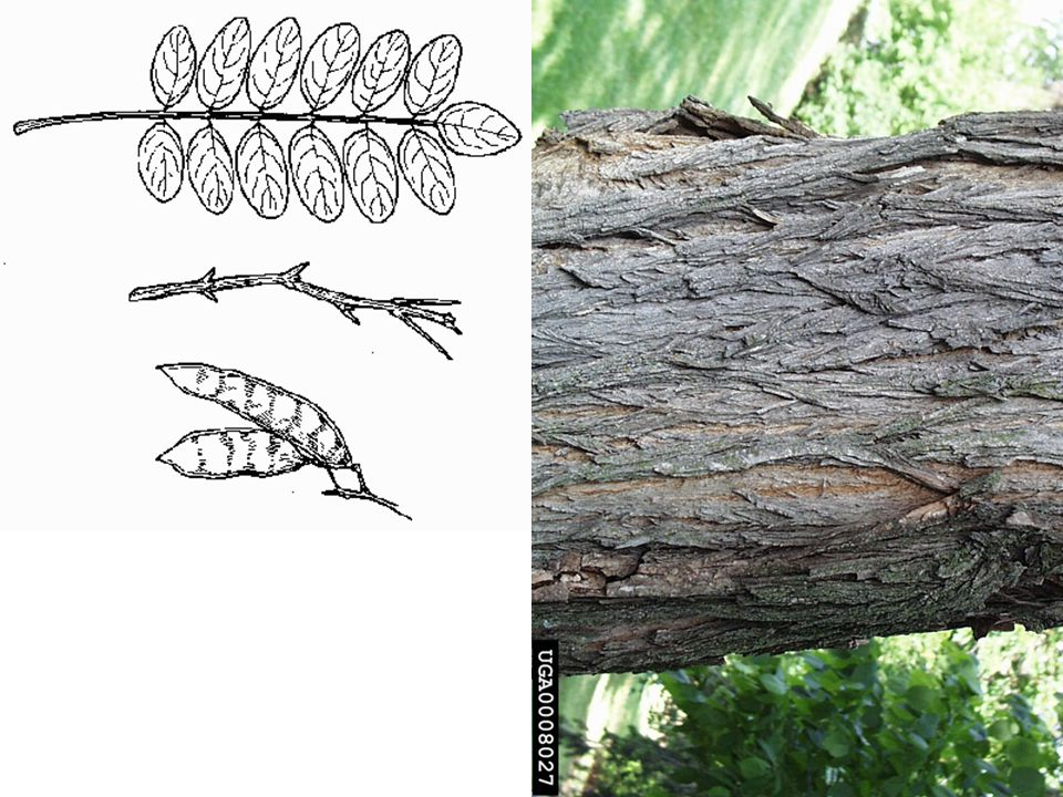 Black Locust – Robinia psuedoacacia LEAVES: Alternate, compound, 7-19 oval leaflets 1 -2 long, margins smooth.
