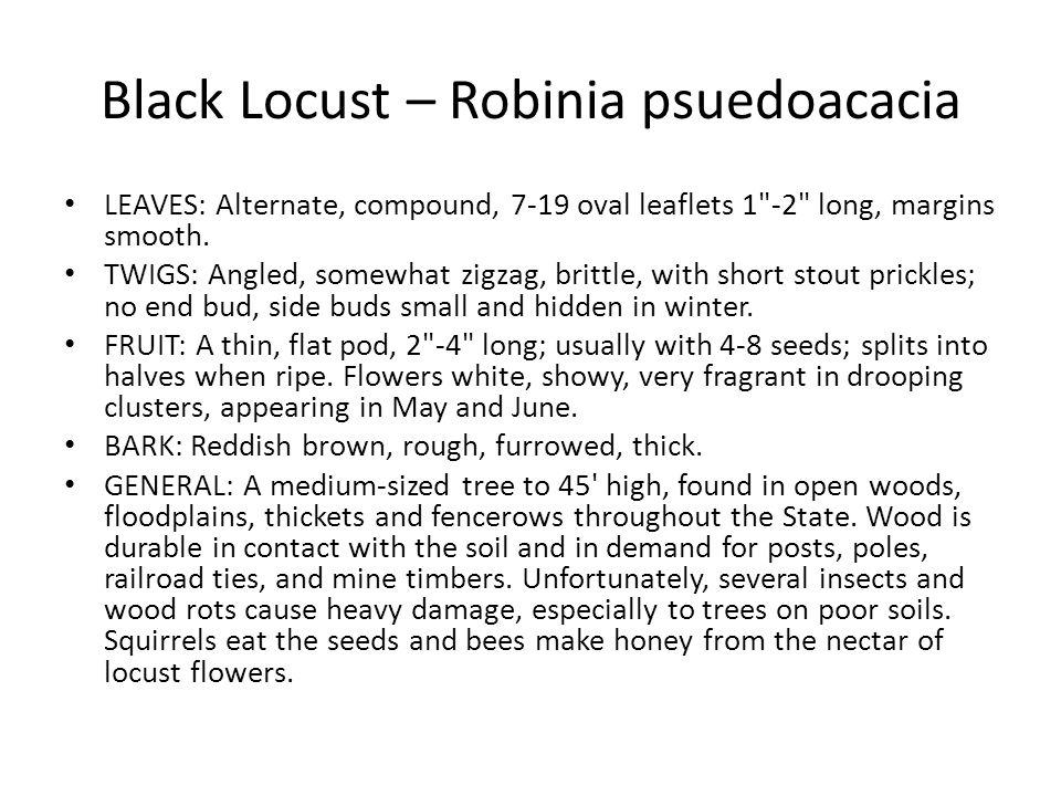 Black Locust – Robinia psuedoacacia LEAVES: Alternate, compound, 7-19 oval leaflets 1