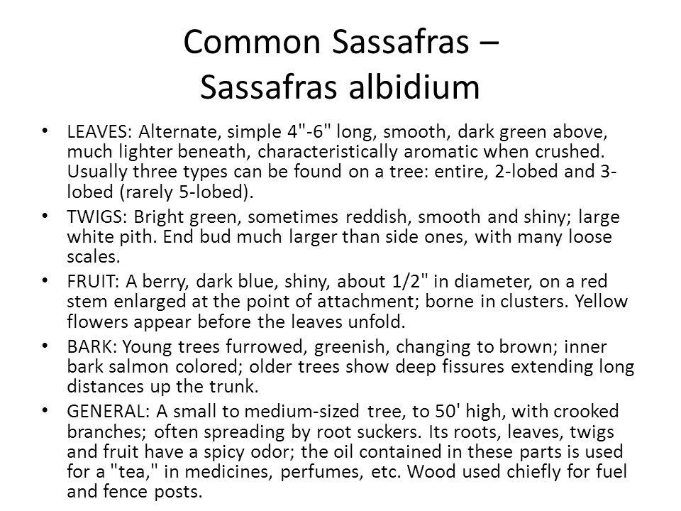 Common Sassafras – Sassafras albidium LEAVES: Alternate, simple 4