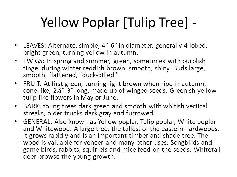 Yellow Poplar [Tulip Tree] - LEAVES: Alternate, simple, 4