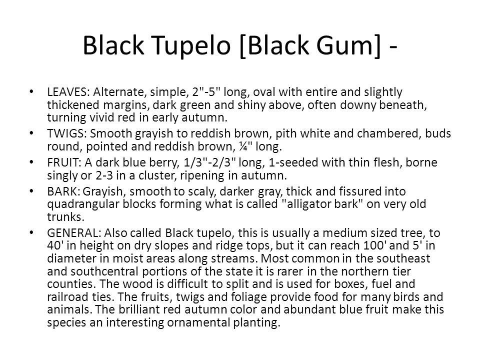Black Tupelo [Black Gum] - LEAVES: Alternate, simple, 2
