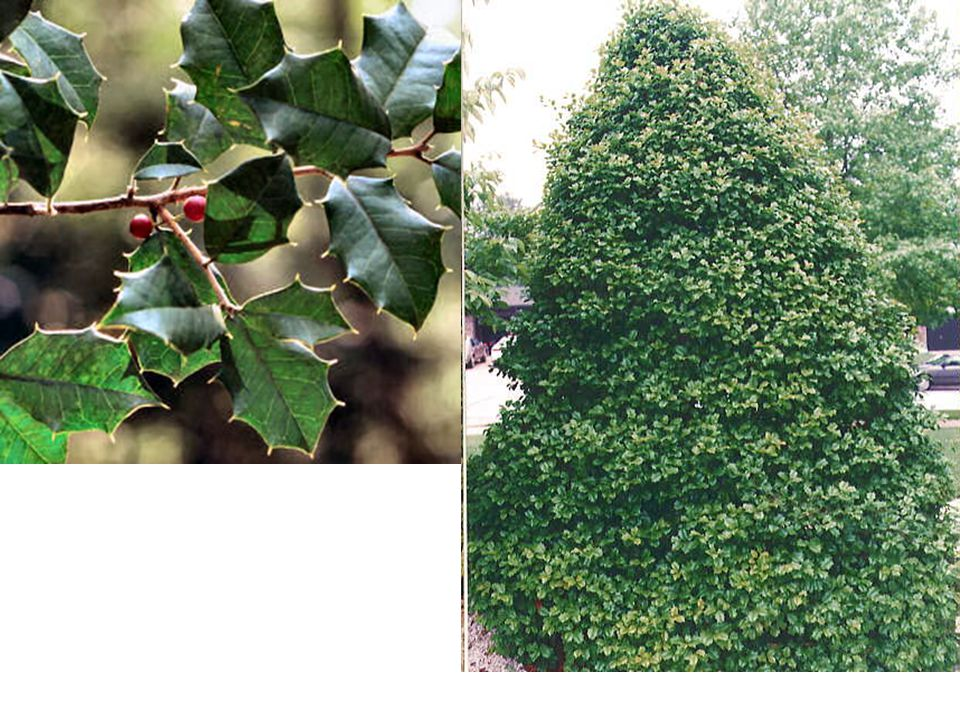 American Holly – Ilex opaca It is a medium-sized broadleaved evergreen tree growing to 10–20 m tall, exceptionally up to 30 m tall, with a trunk diameter typically up to 50 cm, exceptionally 120 cm.